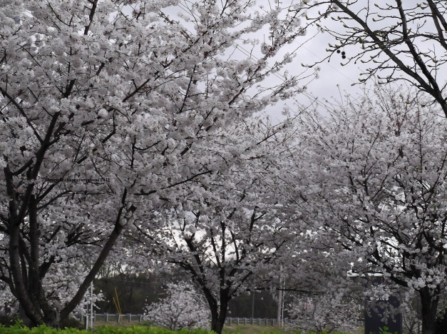 Cherry Blossom trees - Spring 2012