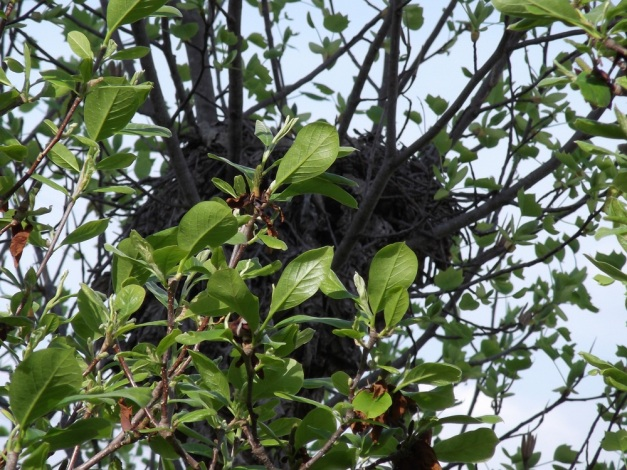 Bird's nest in Magnolia tree - Spring 2012